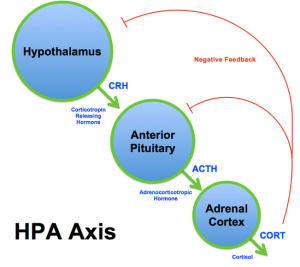 HPA Axis 2