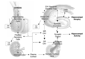 neuroregulatory steroid hormone